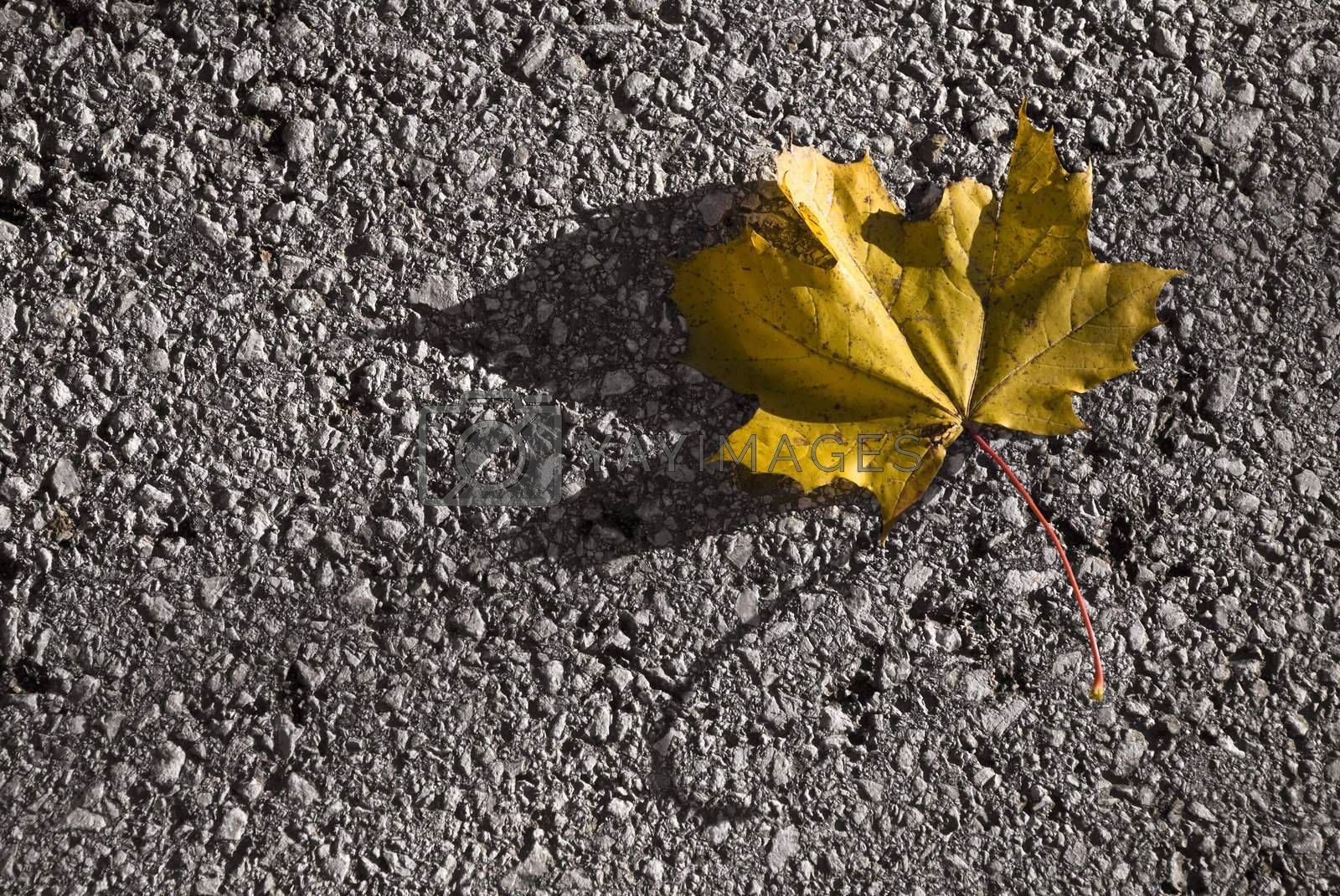 Single yellow maple leaf lying on the street. Autumn image.