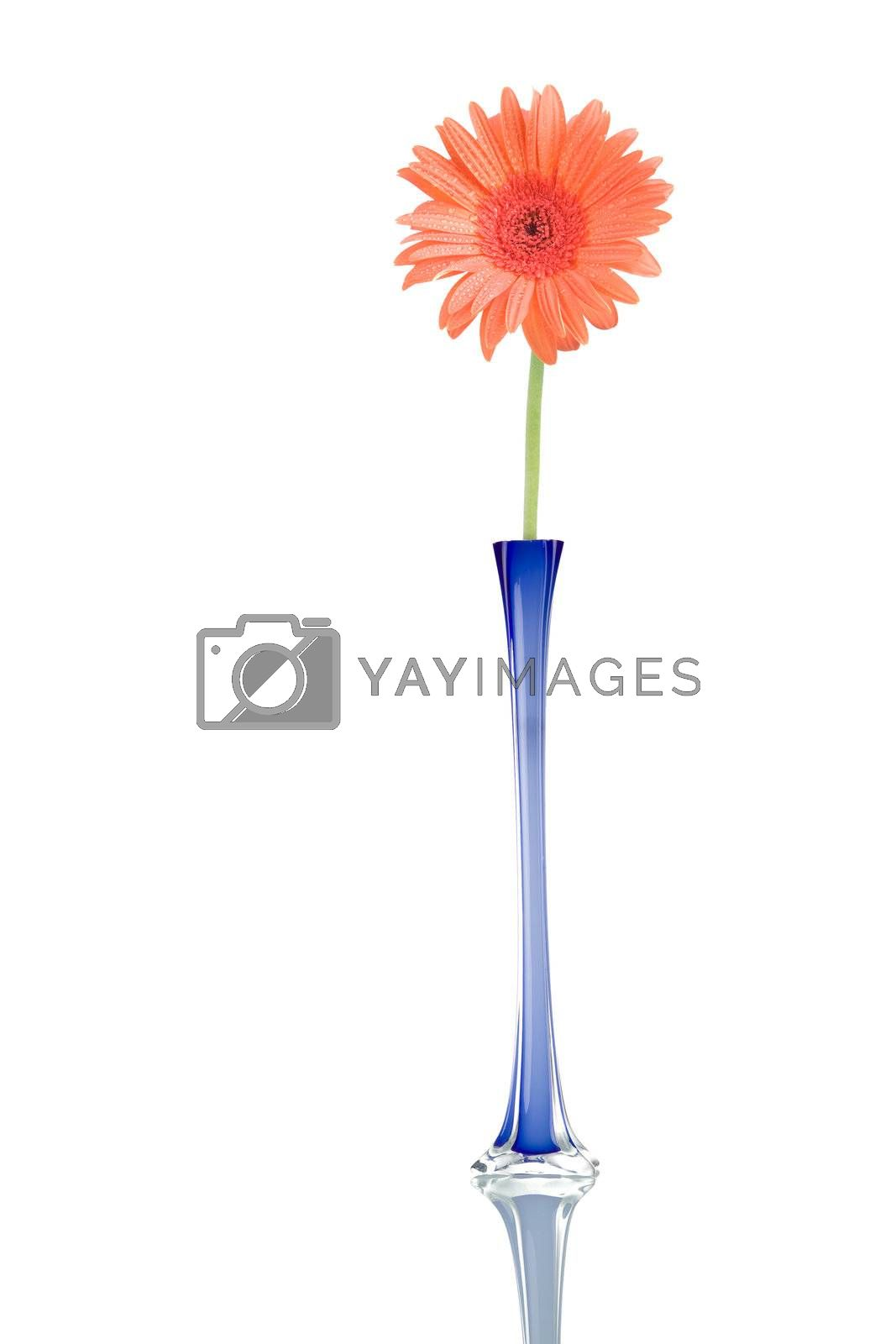 Gerber flower in a blue jar, isolated on white background.