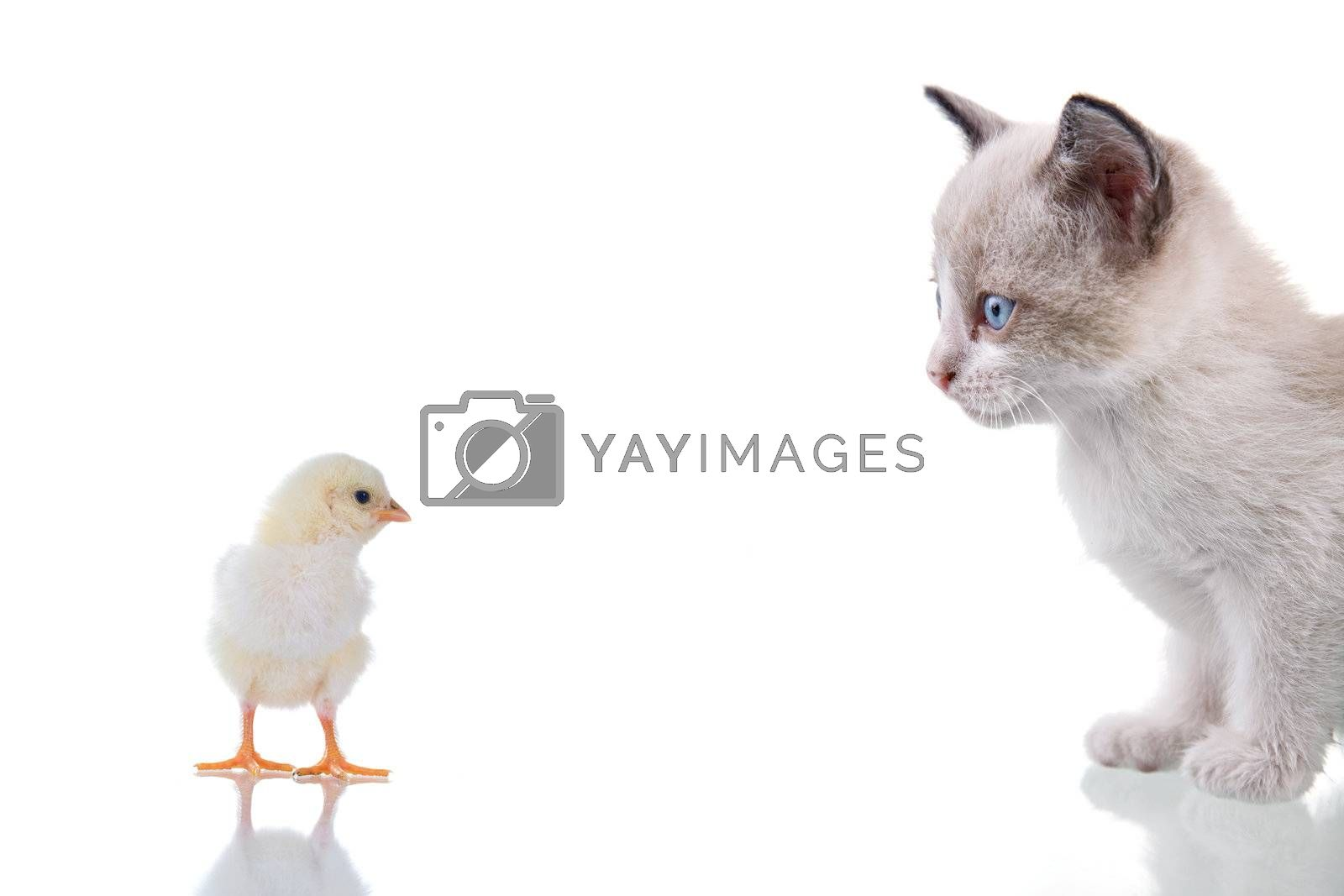 Baby kitten and chick staring at each other. Isolated on white. Studio shot.