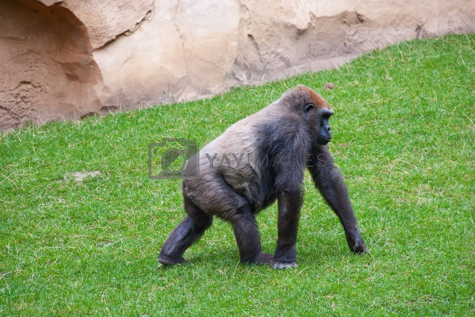 Male Silverback Gorilla goes on the grass