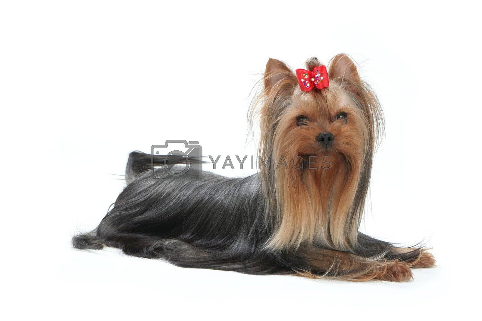 Yorkshire Terrier dog with a bow on her head