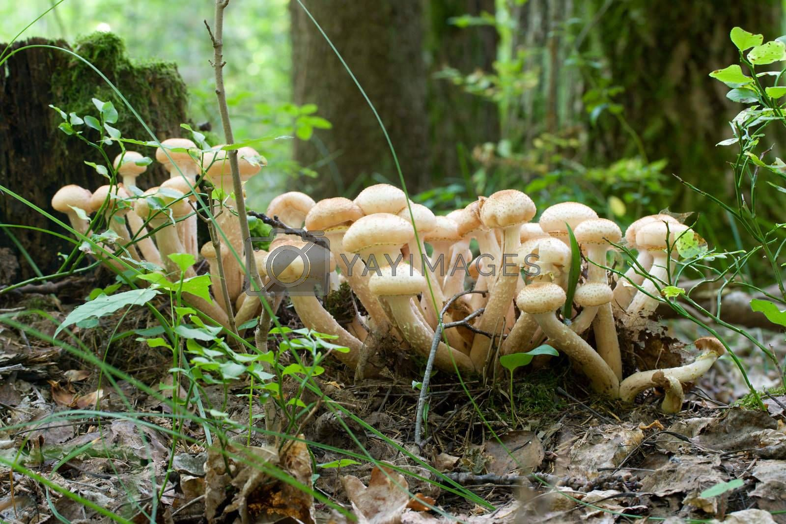 bunch of honey agaric mushrooms in forest