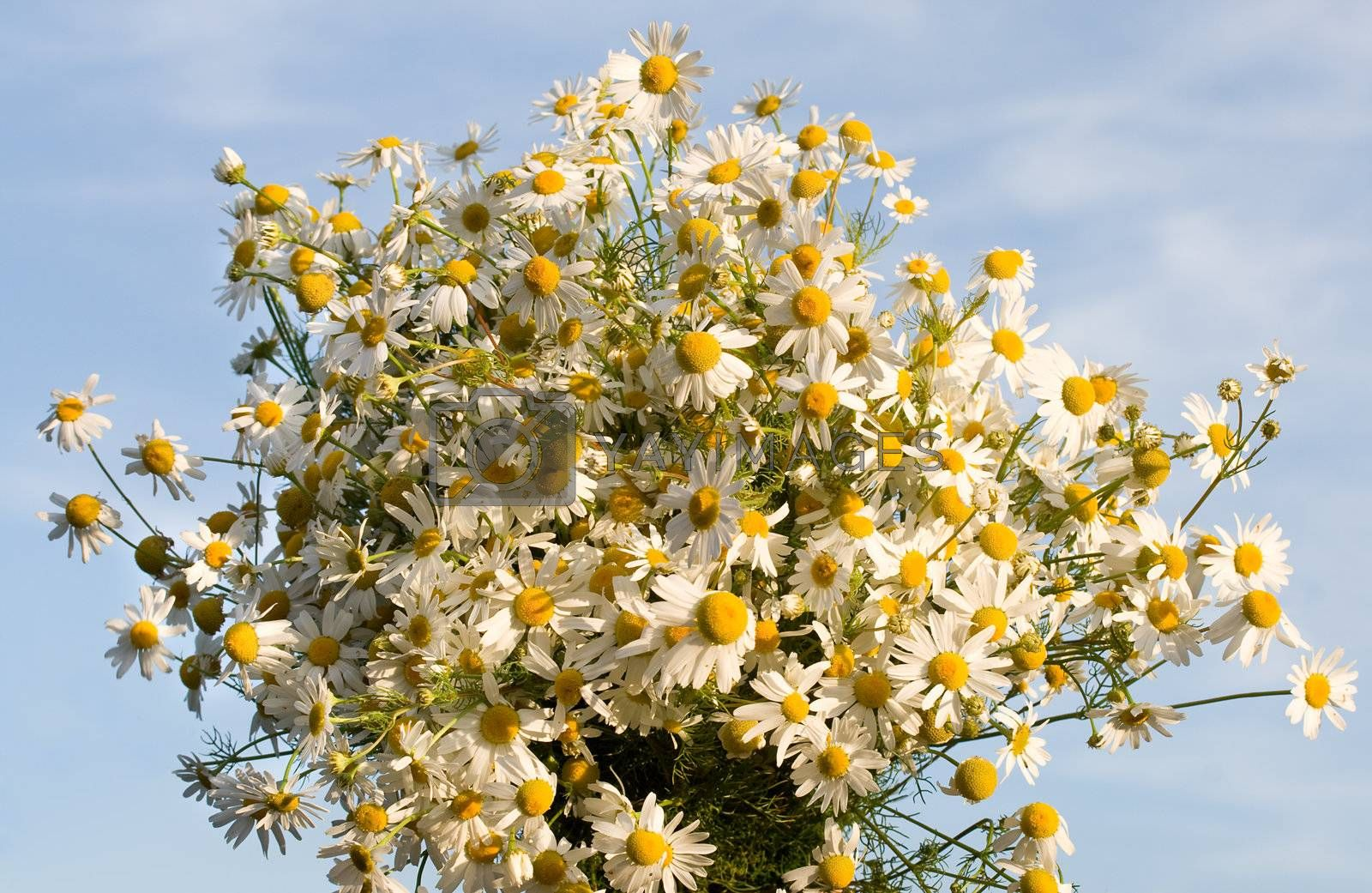 chamomile bouquet against a blue sky background