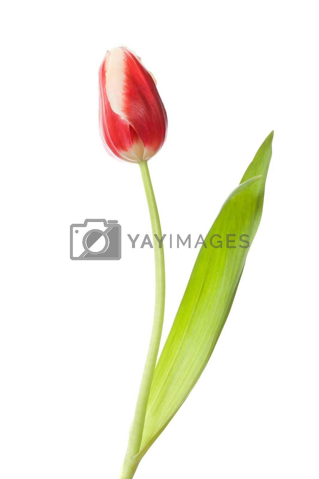 single red-white closed tulip, isolated