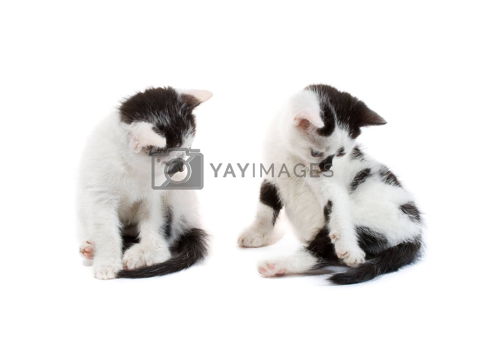 close-up black and white kittens sitting