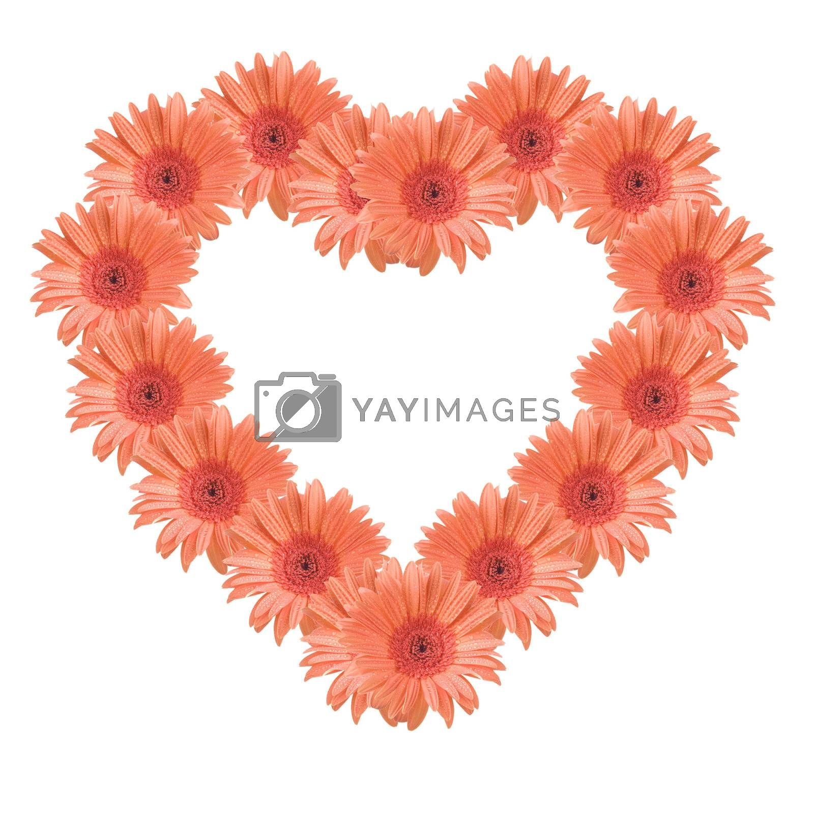 Gerber flowers forming a heart, isolated on white background.
