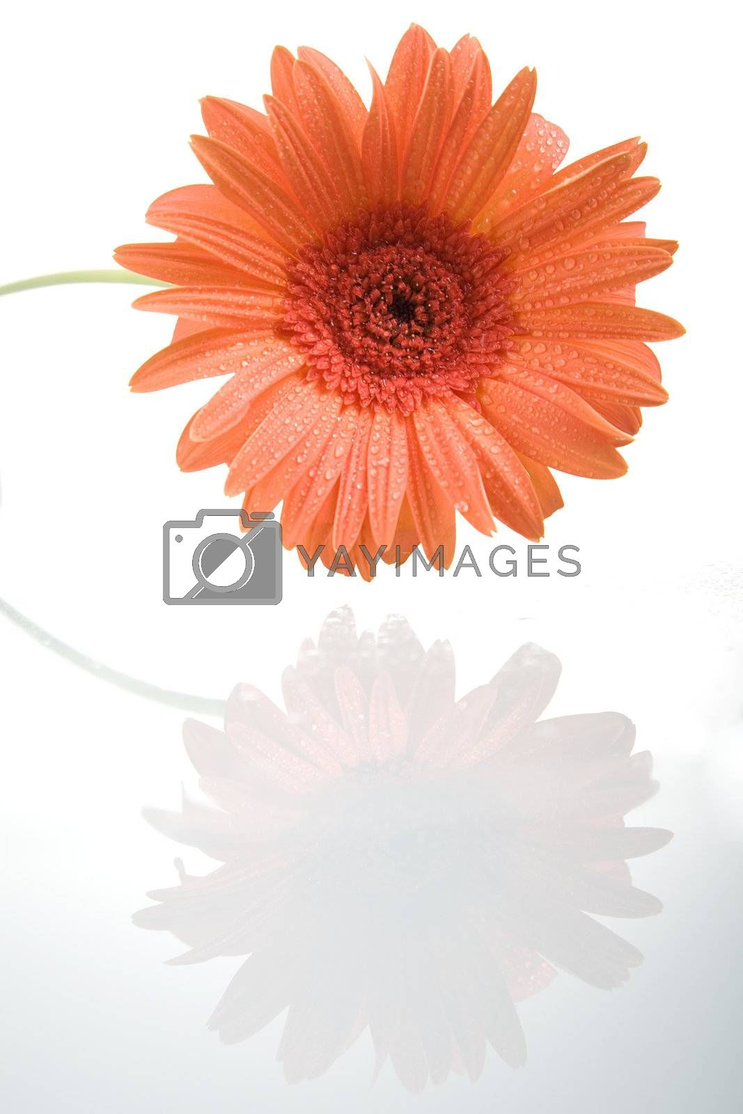 Gerber flower with reflection isolated on white background.