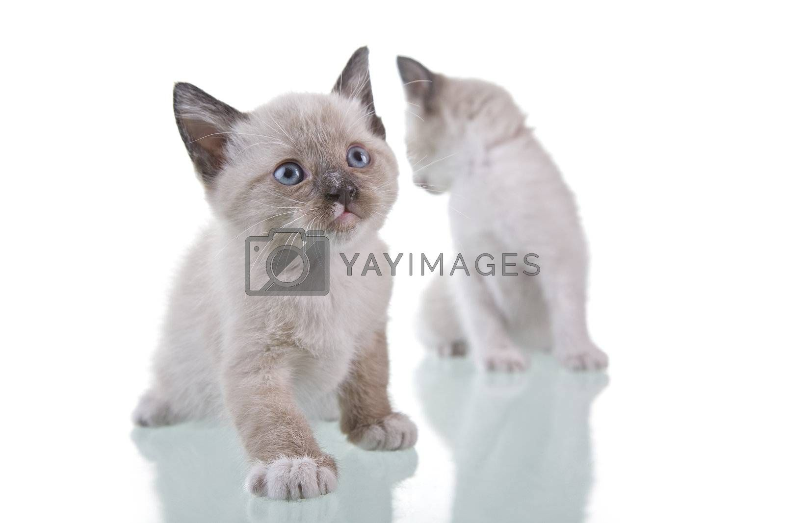 Two adorable baby kittens isolated on white background.