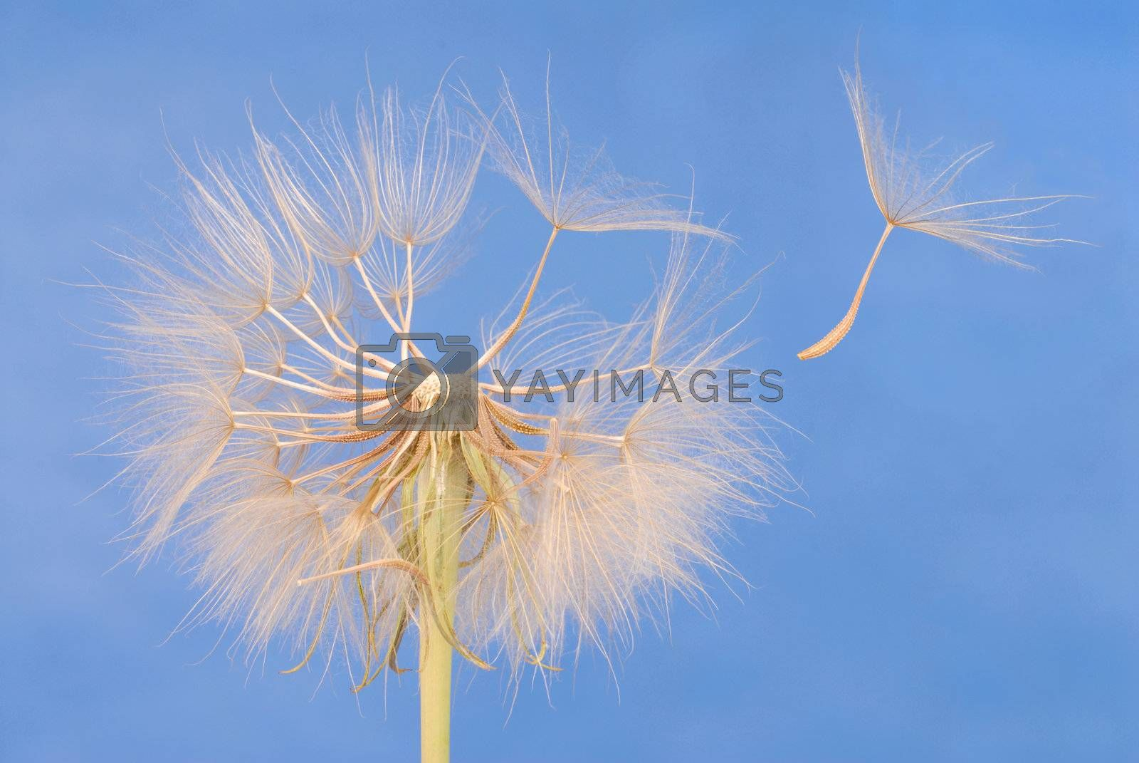 Macro of dandelion clock against blue sky
