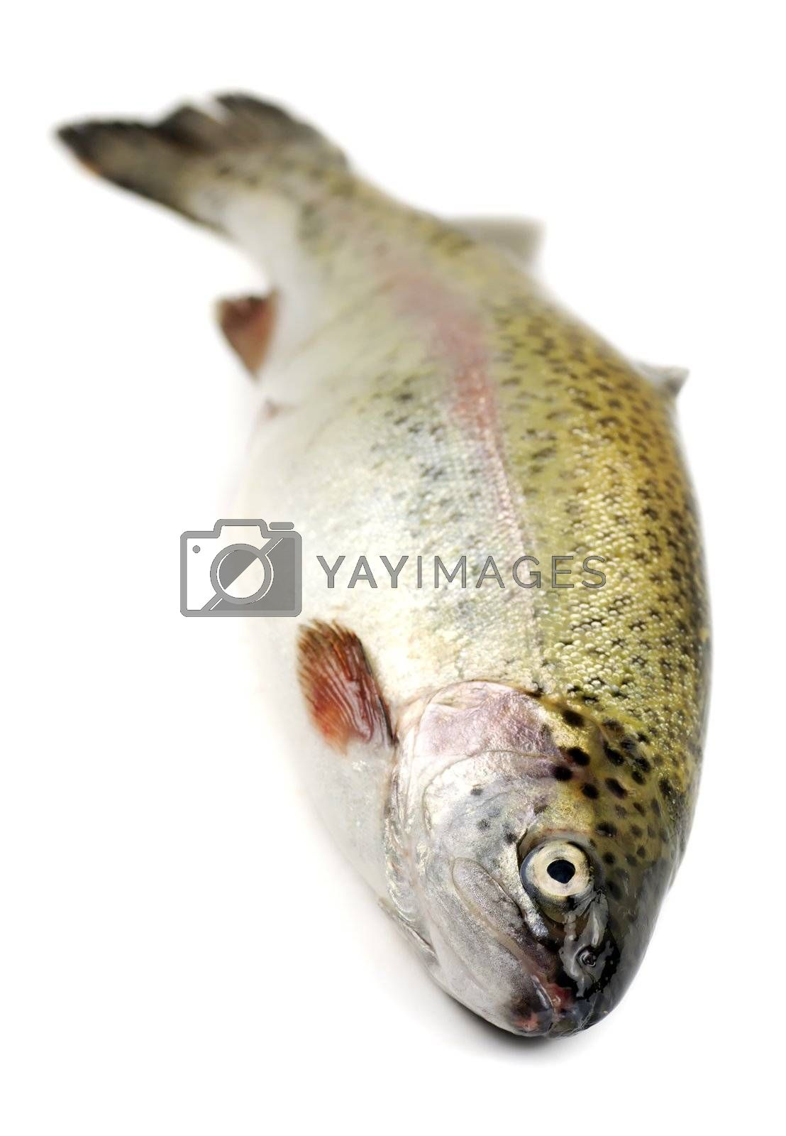 close up of a fresh rainbow trout