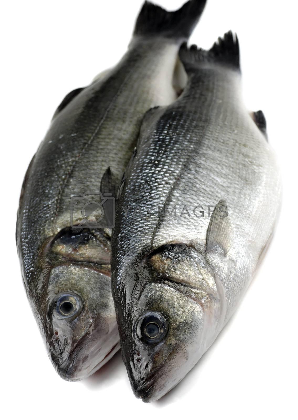 two sea bass by massman