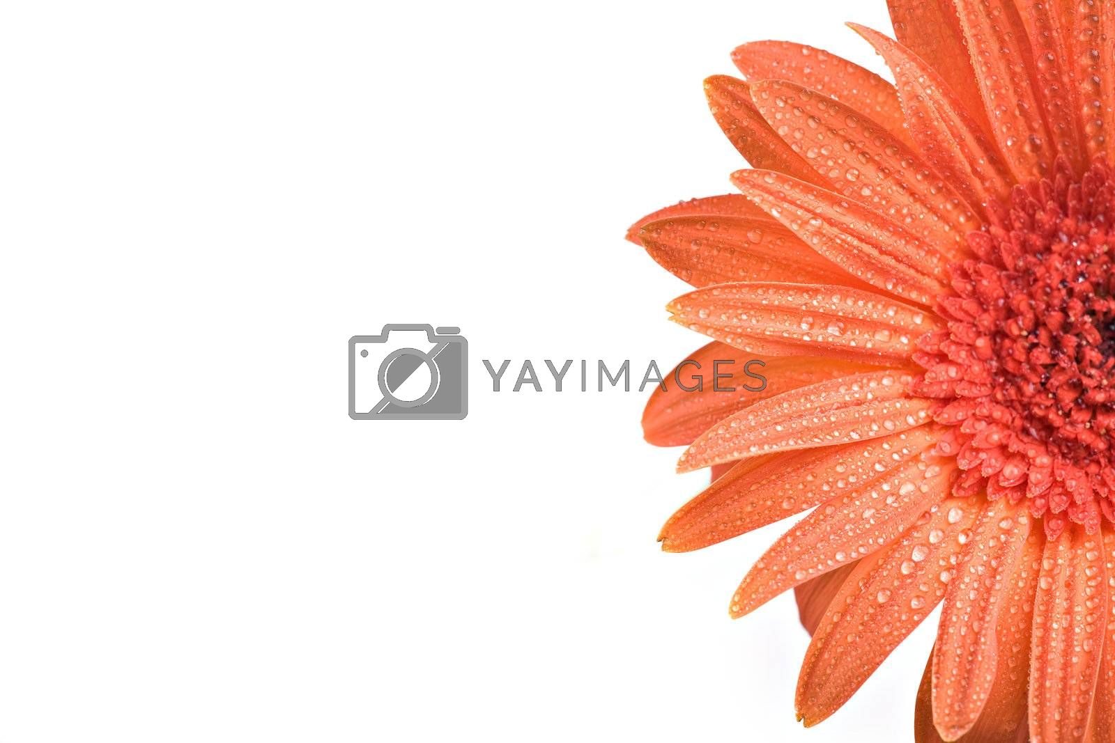 Extreme close-up of a gerber daisy with water drops isolated on white background.
