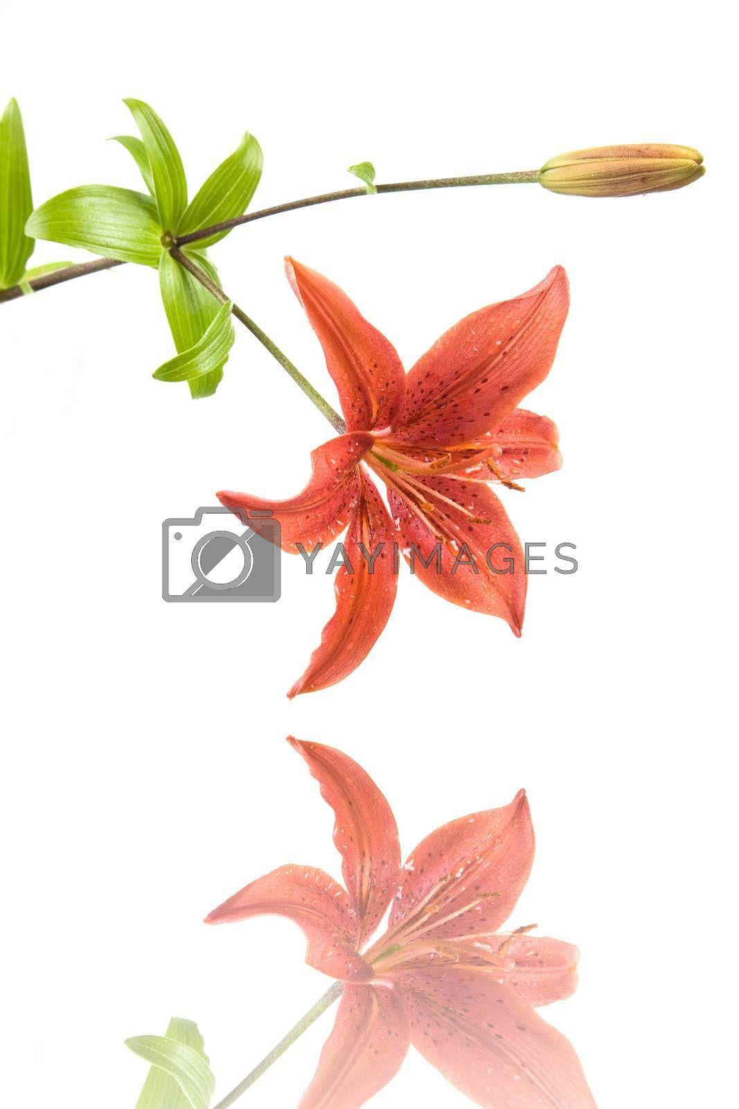Red Lilly with reflection. Isolated on white background. Studio Shot.