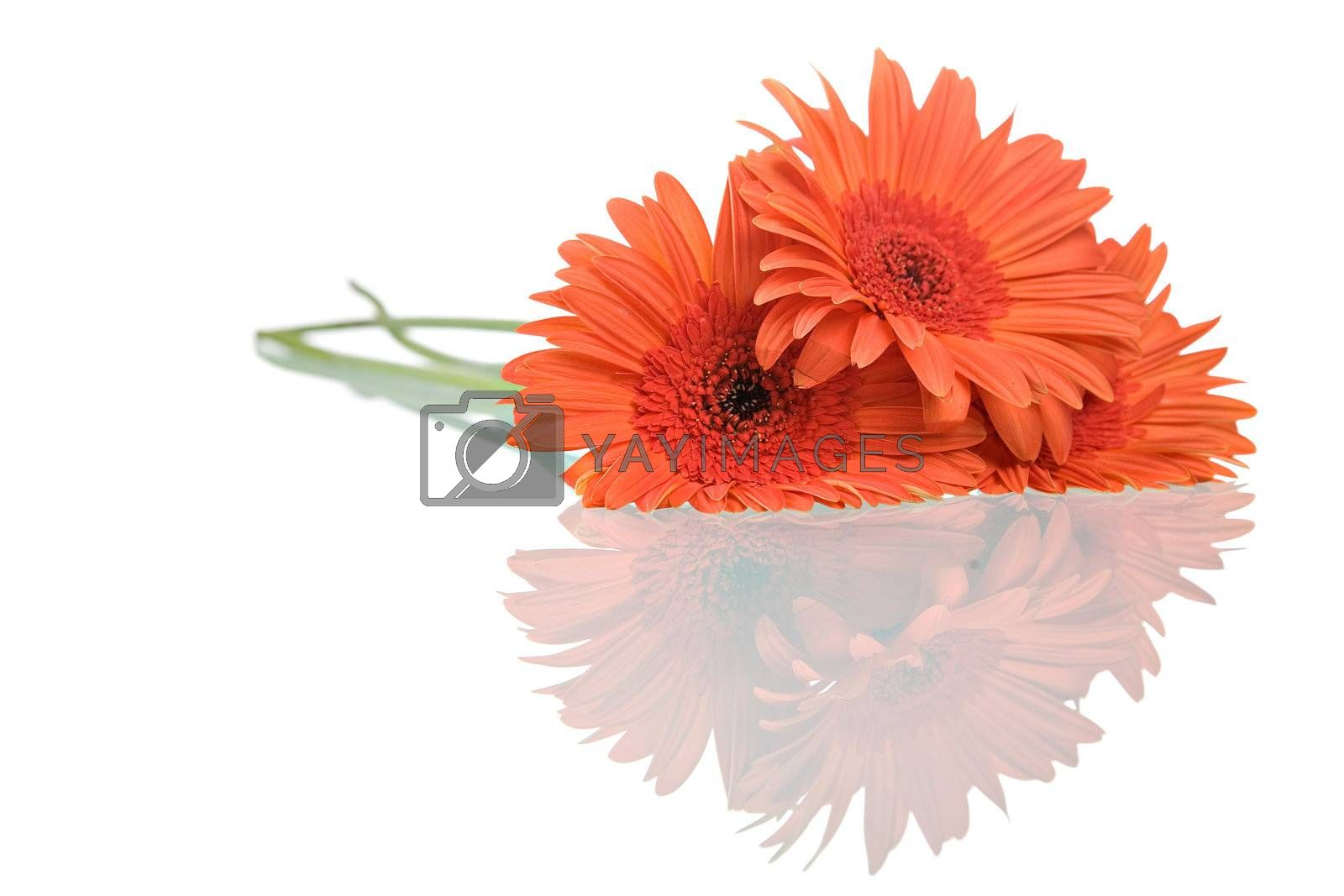 Gerber daisies with reflection isolated on white background.