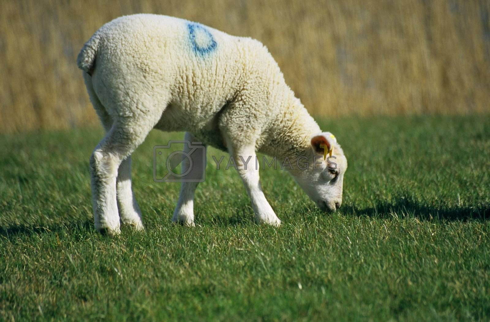 A young spring lamb munches on green grass in the Netherlands.