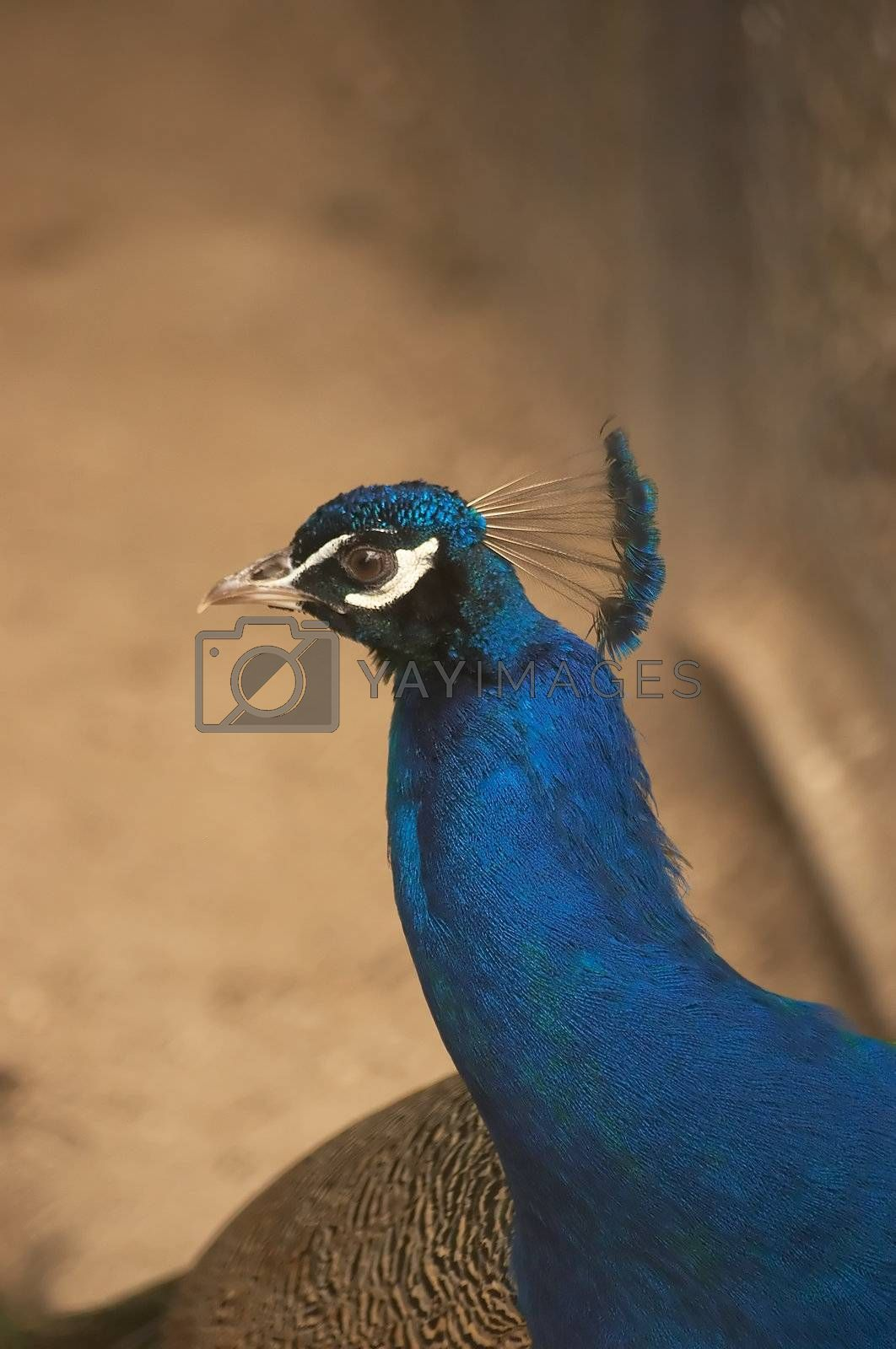 Head of the peafowl