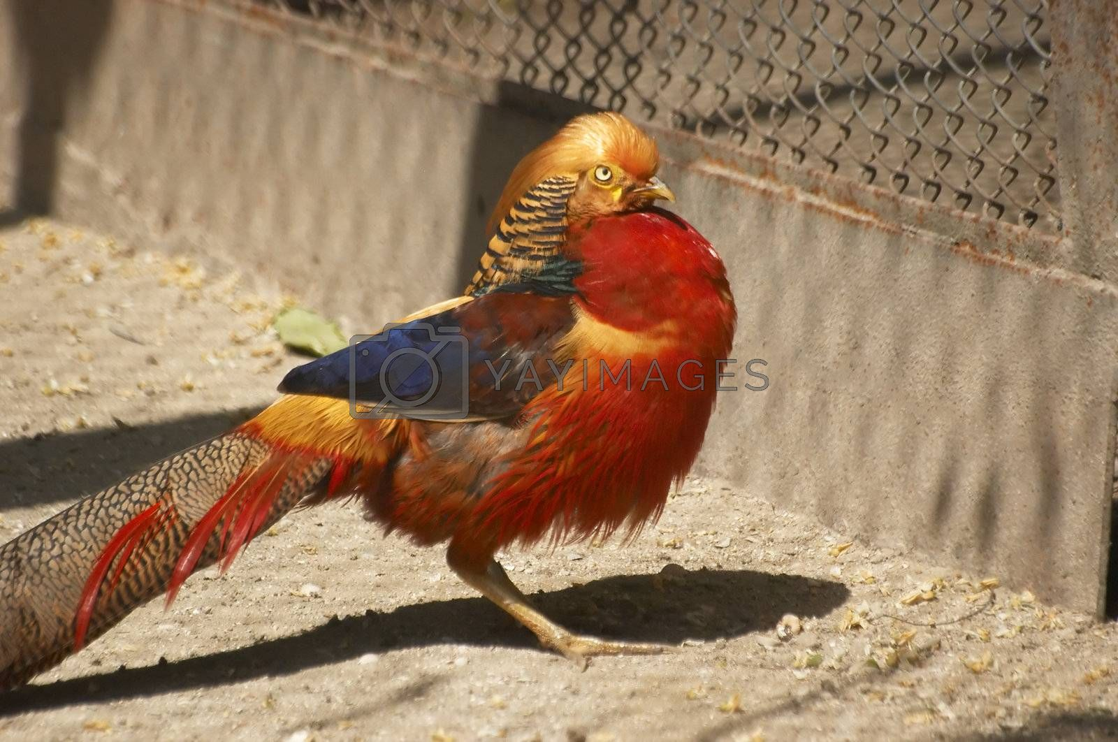 The male of a gold pheasant in a zoological garden open-air cage
