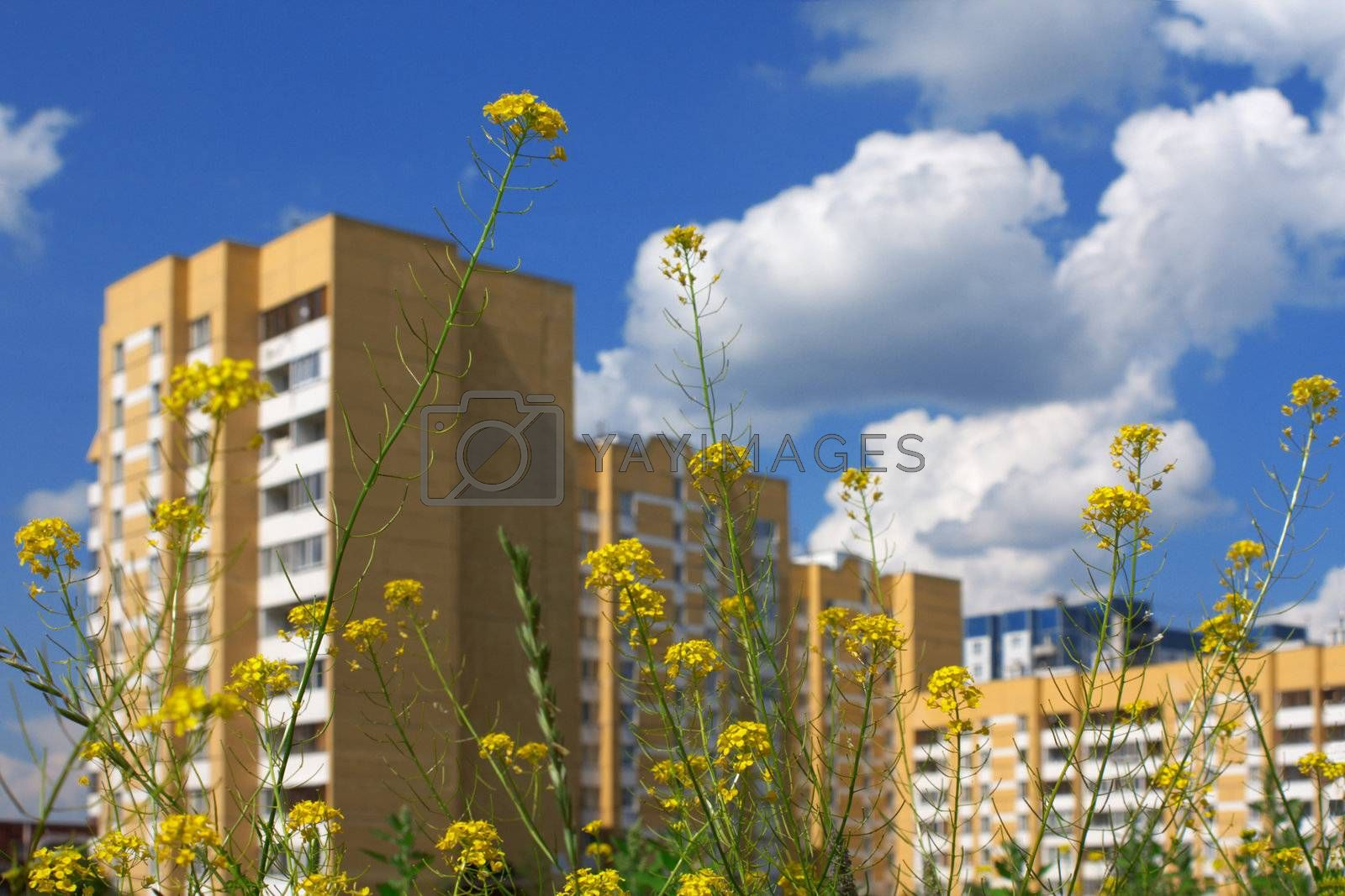 Yellow field flowers and green grass on a background of the dark blue sky with clouds and on a background of a multi-storey building