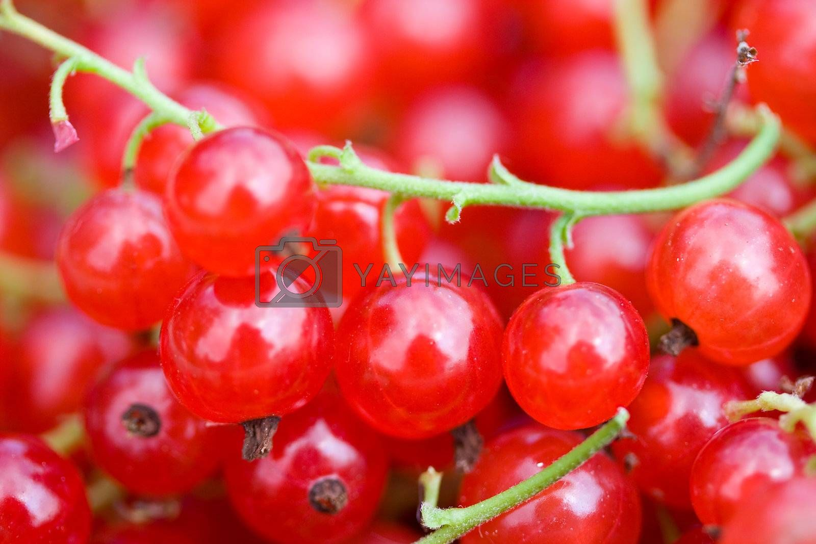 close-up branch of ripe red currant
