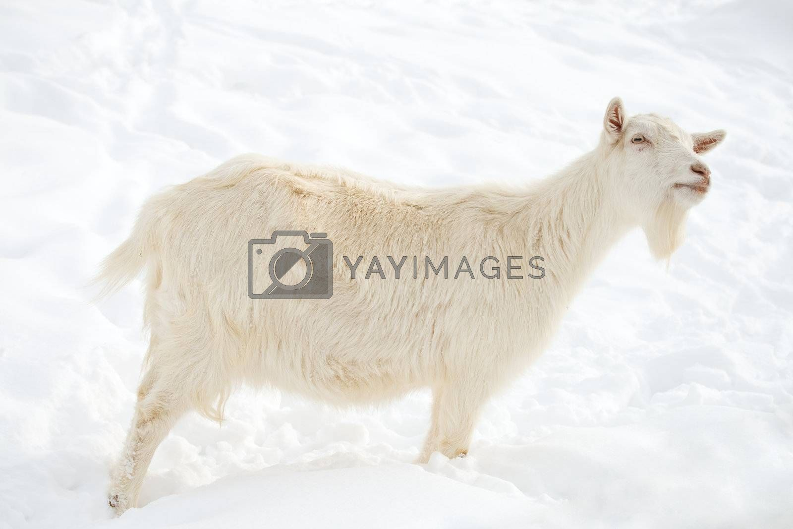close-up white goat walking on snow
