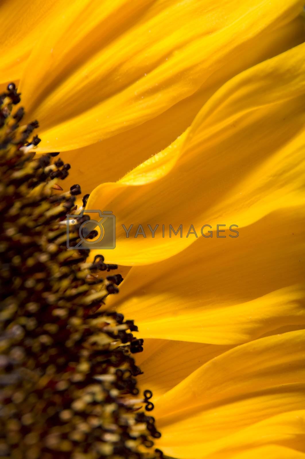 Sunflower by aaron_stein