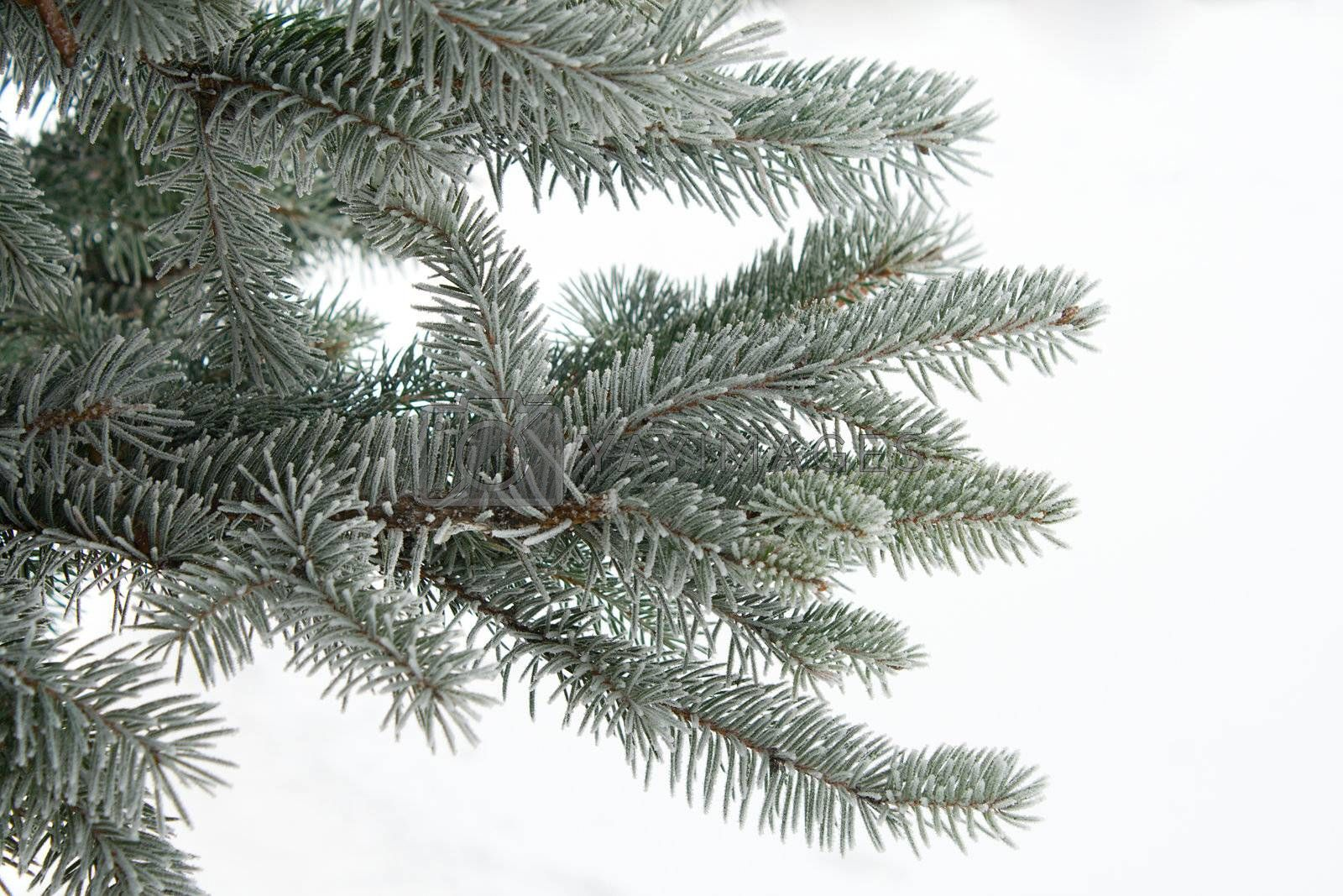 branch of fir, covered with hoar-frost by Alekcey