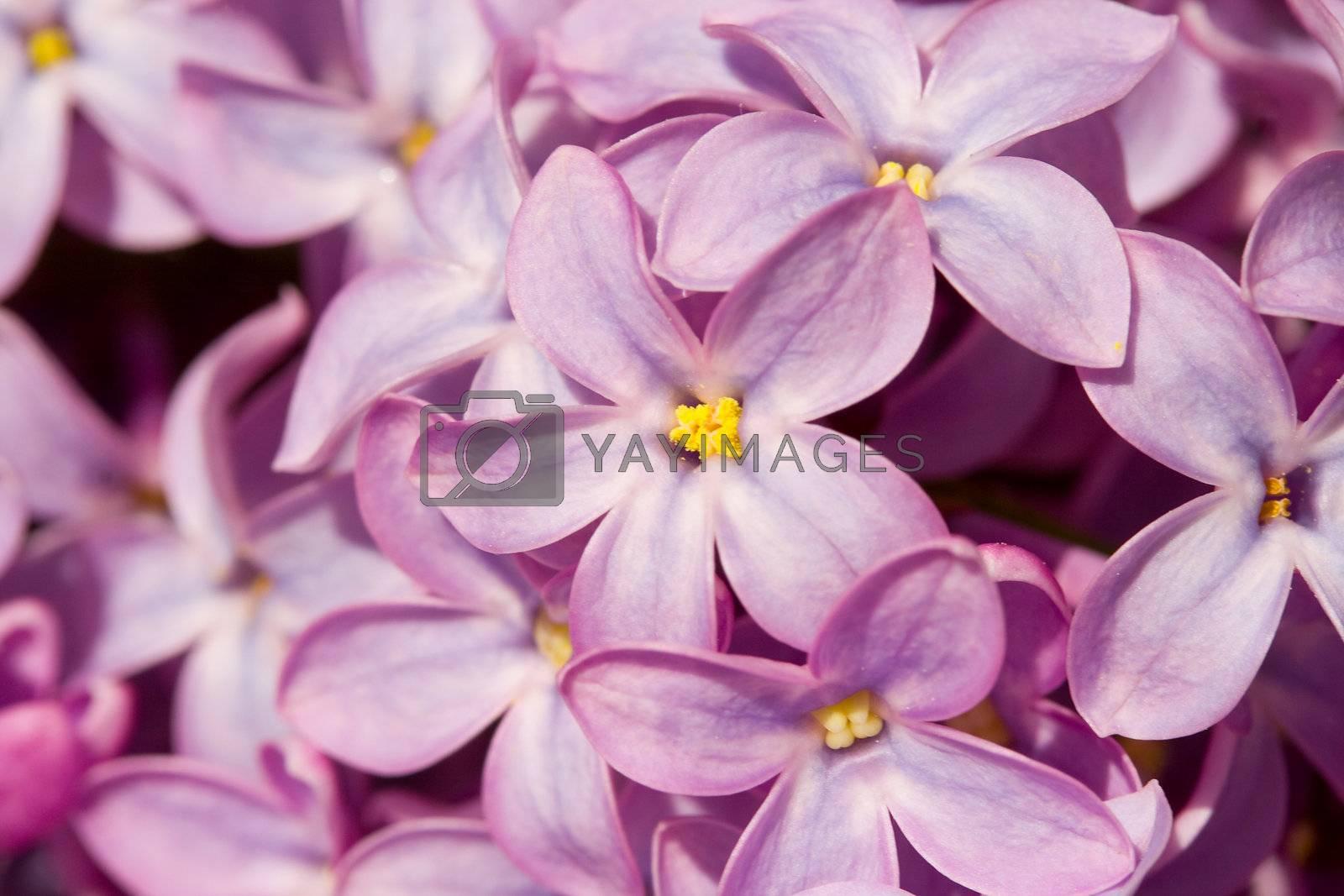 close-up five petals lilac flower macro