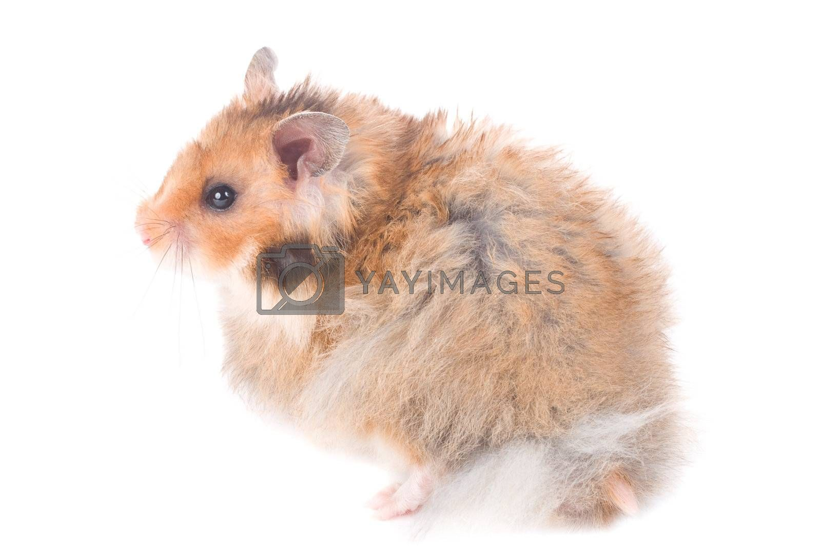 close-up small hamster, isolated on white