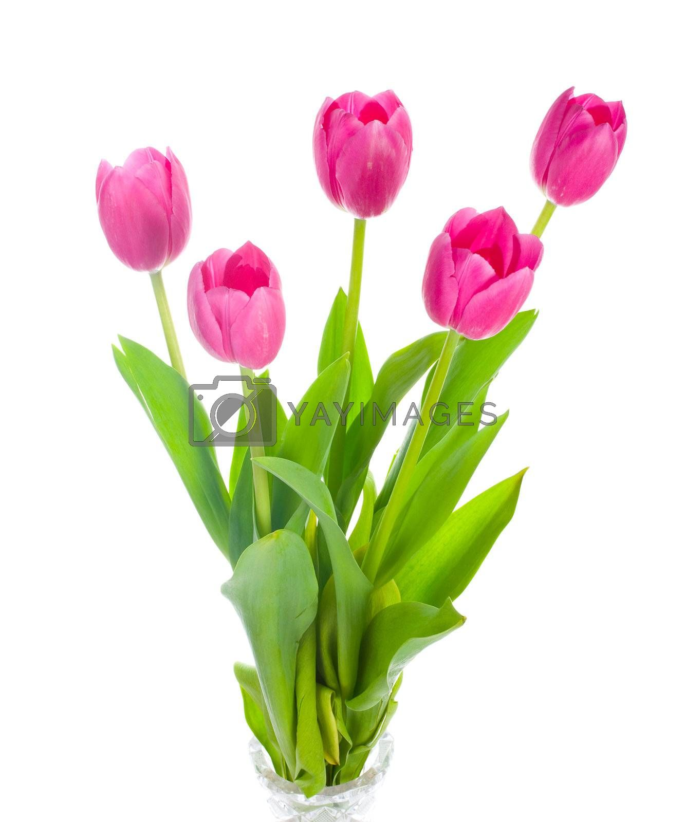five pink tulips bouquet, isolated on white