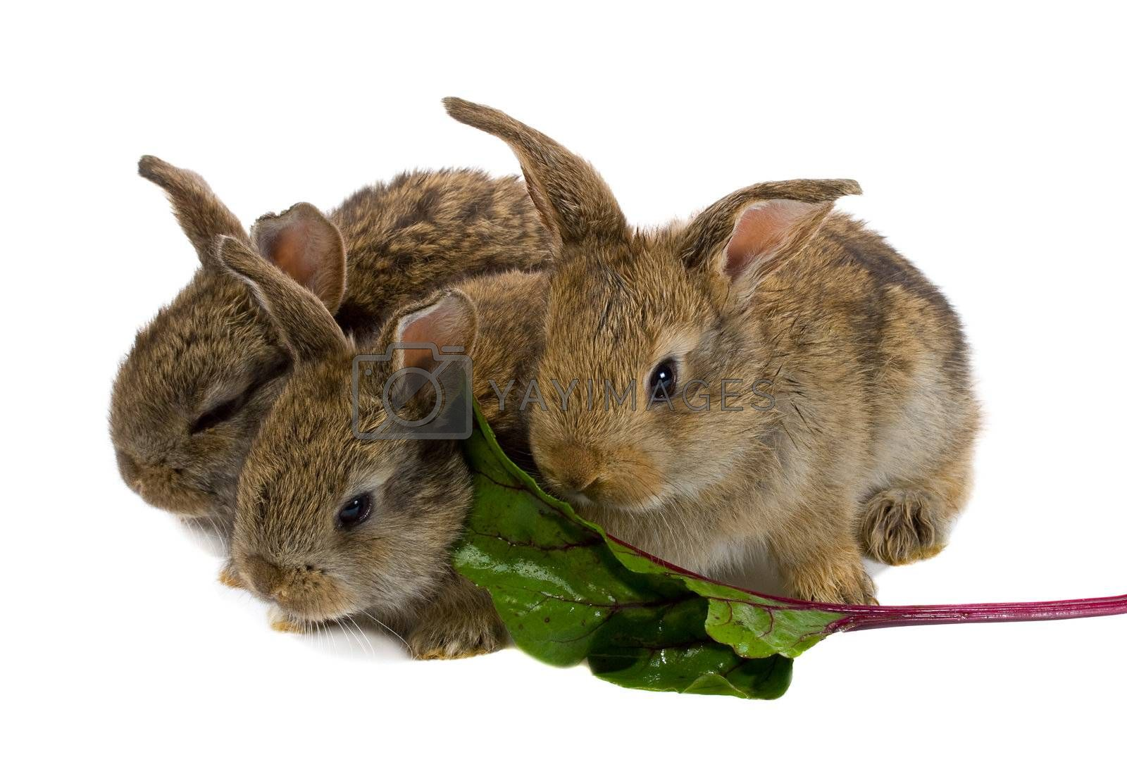 close-up tree little rabbits eating the leaf of red beet, isolated on white