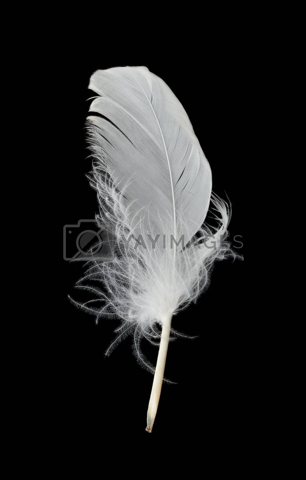 close-up white feather, isolated on black
