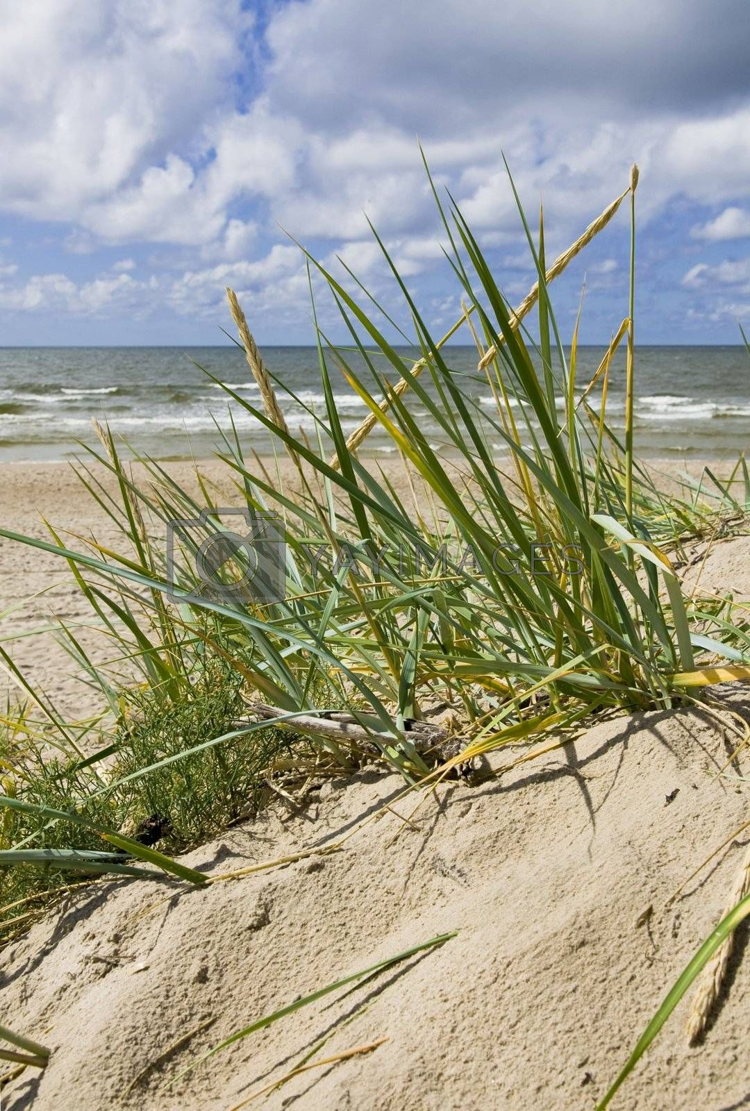 Royalty free image of Grass on dune by Nikonas