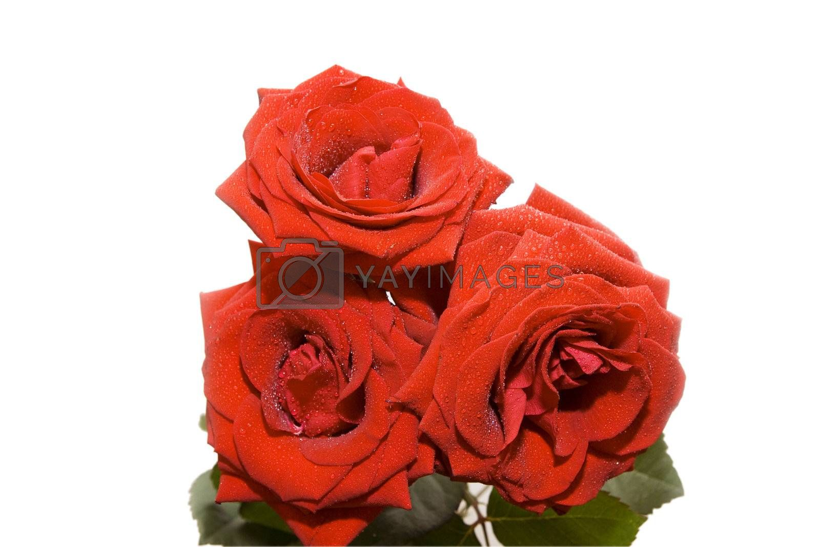 Three beautiful red roses with water drops isolated on white
