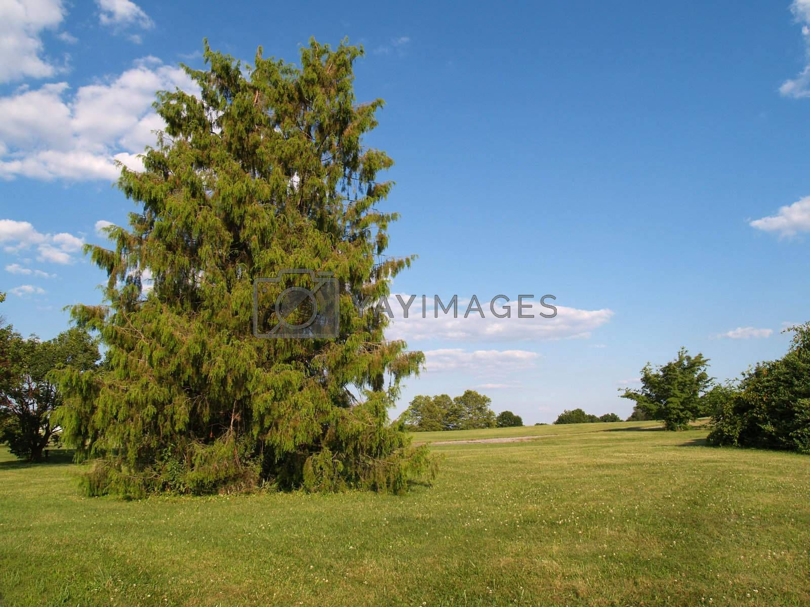 large evergreen tree in a park by a grassy lawn