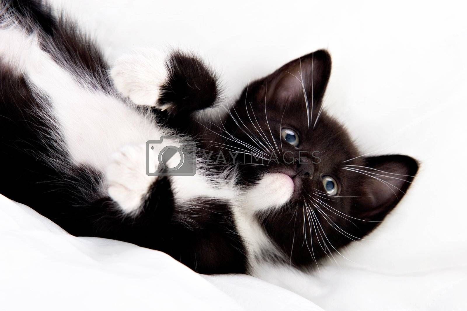 Adorable black and white kitten playing.