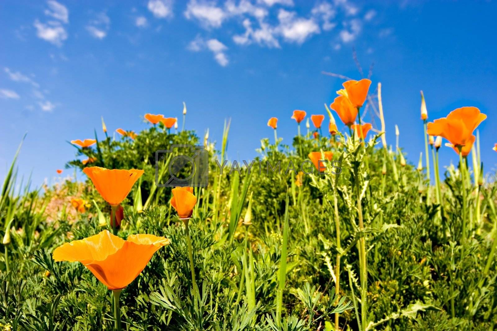 Orange poppies on a green field and a beautiful blue sky
