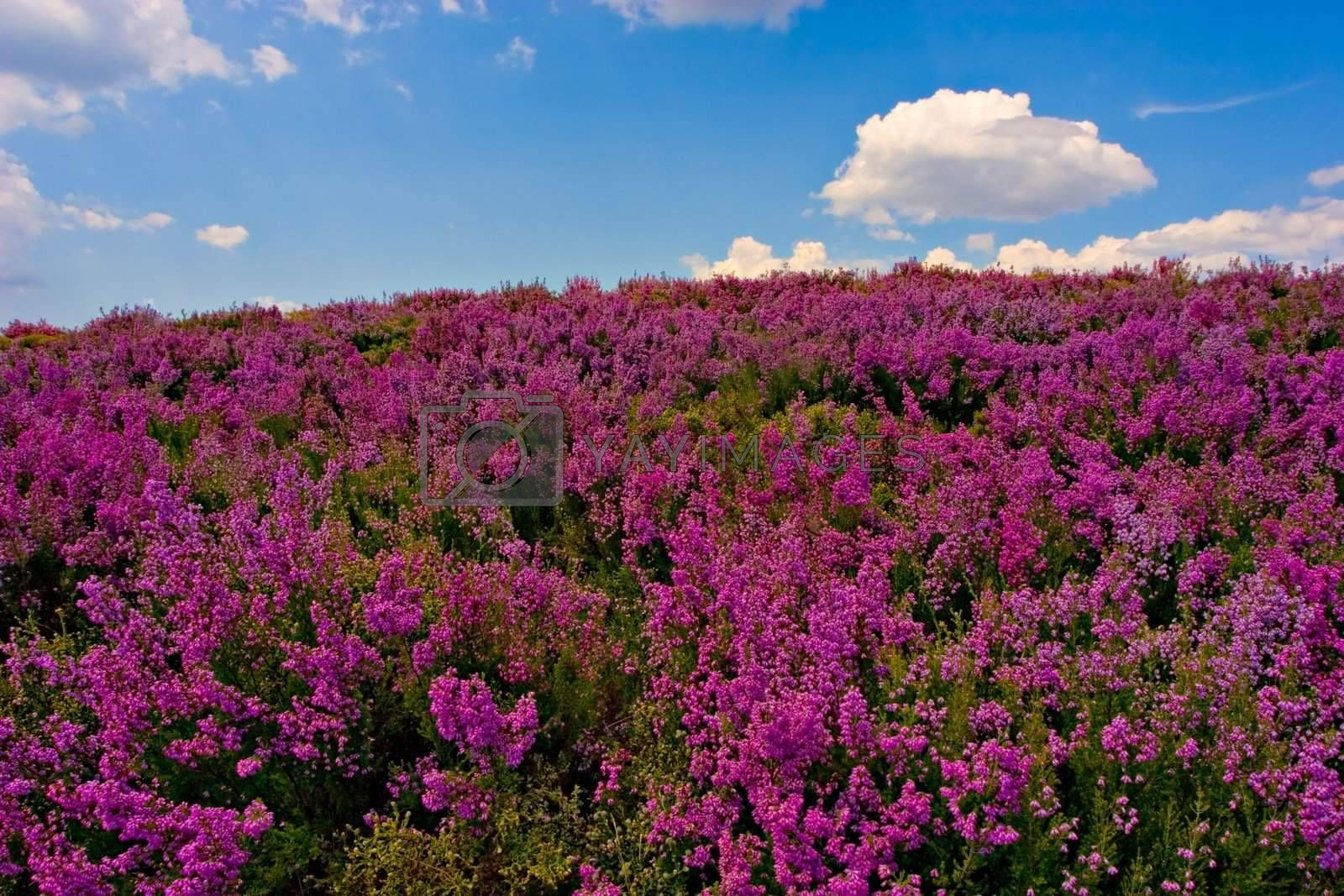 Beautiful purple field, with blue sky and fluffy cloud