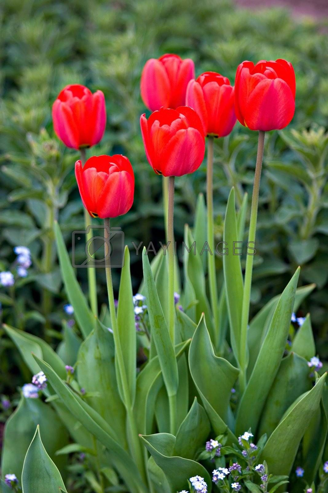 A bunch of red tulips in a garden.