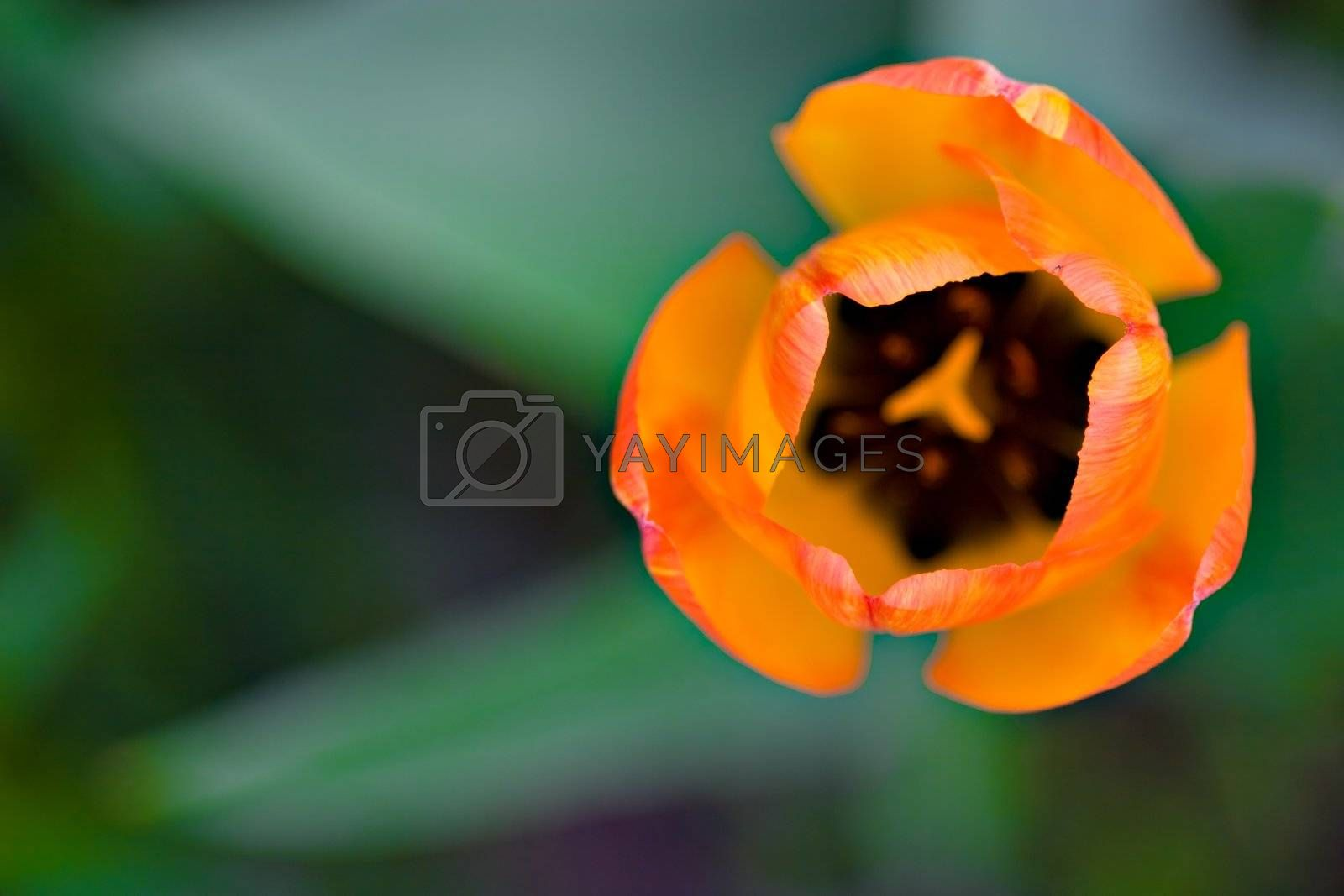 Extreme close-up of a Dutch Tulip, shot from above. Very shallow depth of field.
