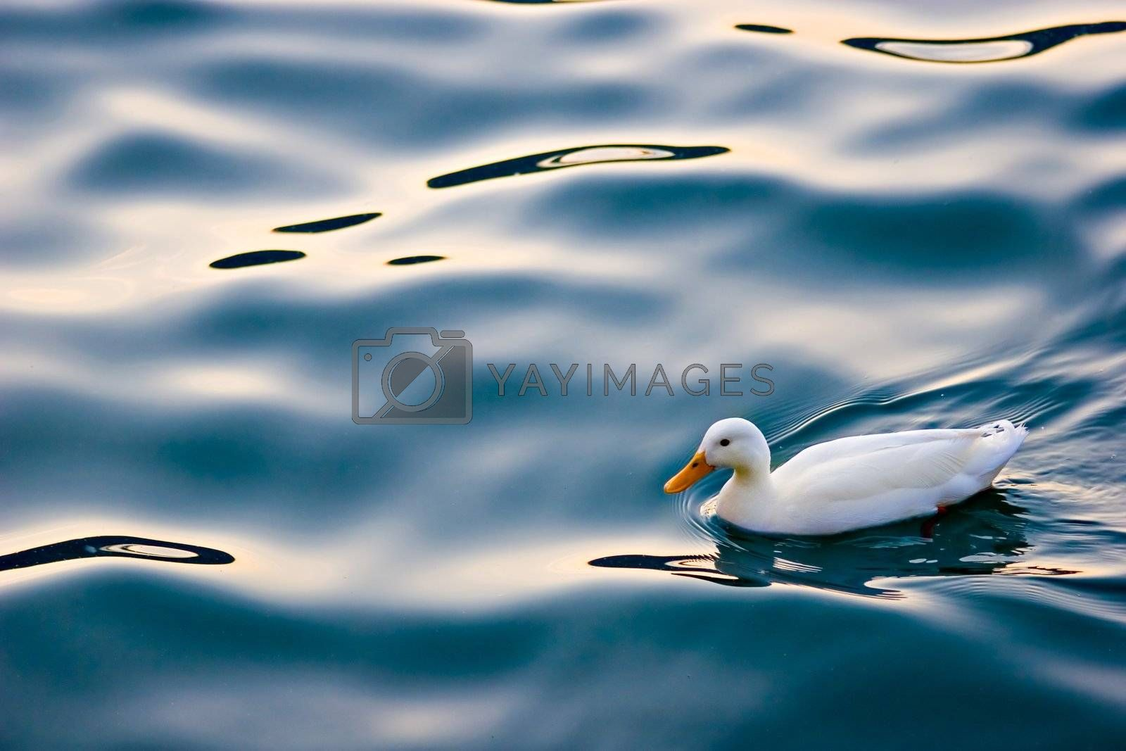 Cute white duck swimming on a lake's calm waters.