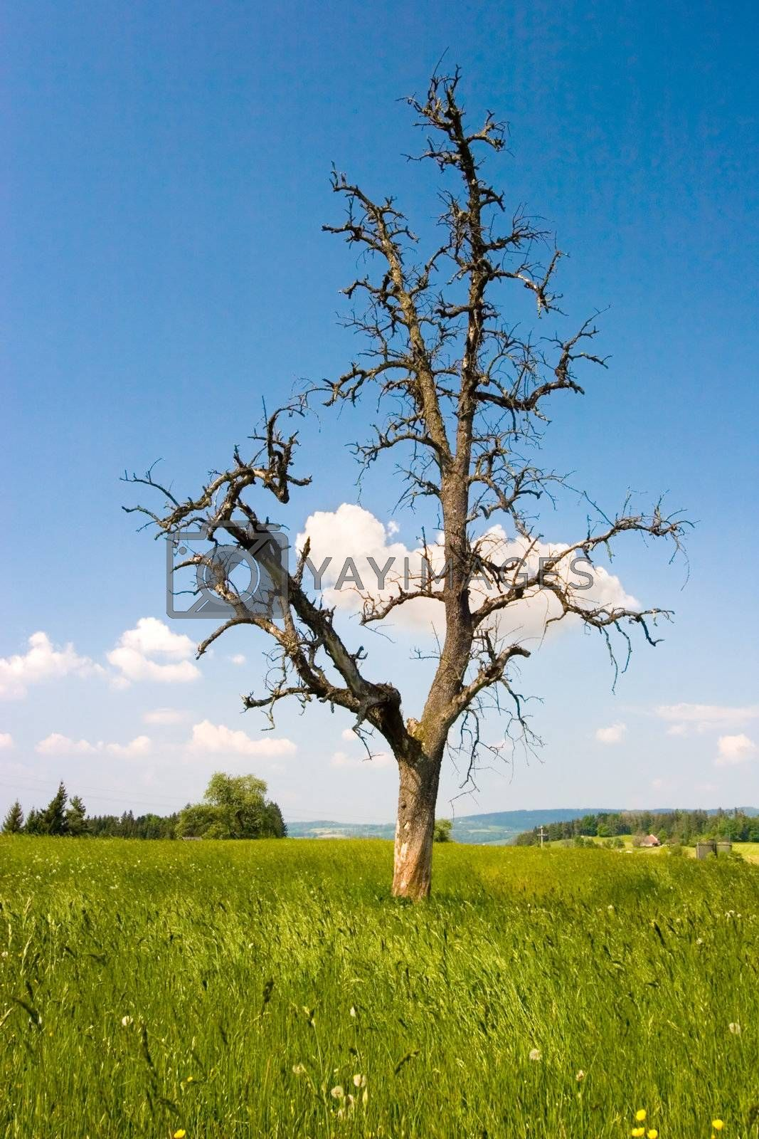 A nude tree on a green field with blue sky and fluffy clouds