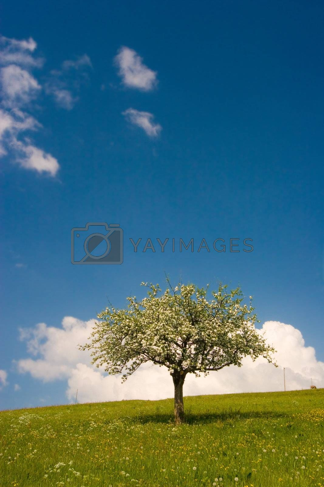 A tree in bloom on a green flowered field with blue sky and fluffy clouds