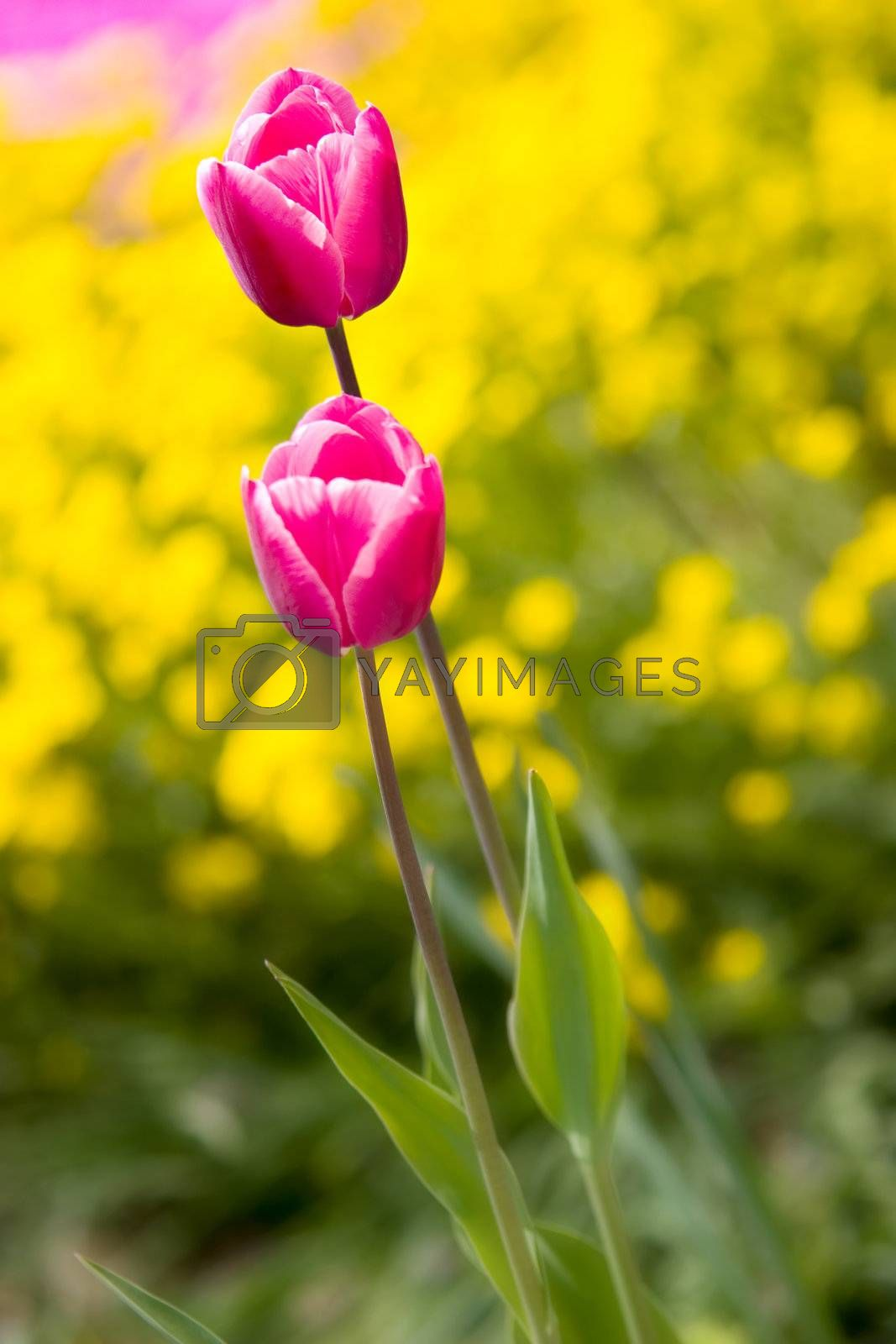 Two tulips in a garden with vivid colors.