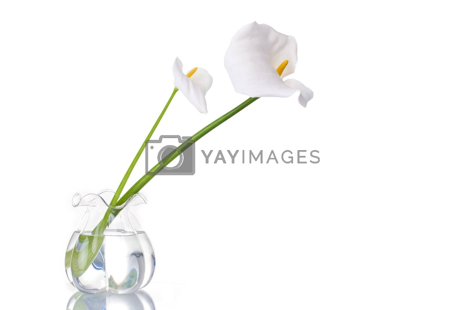 Two white callas on a glass jar with water, reflected. Isolated on white background