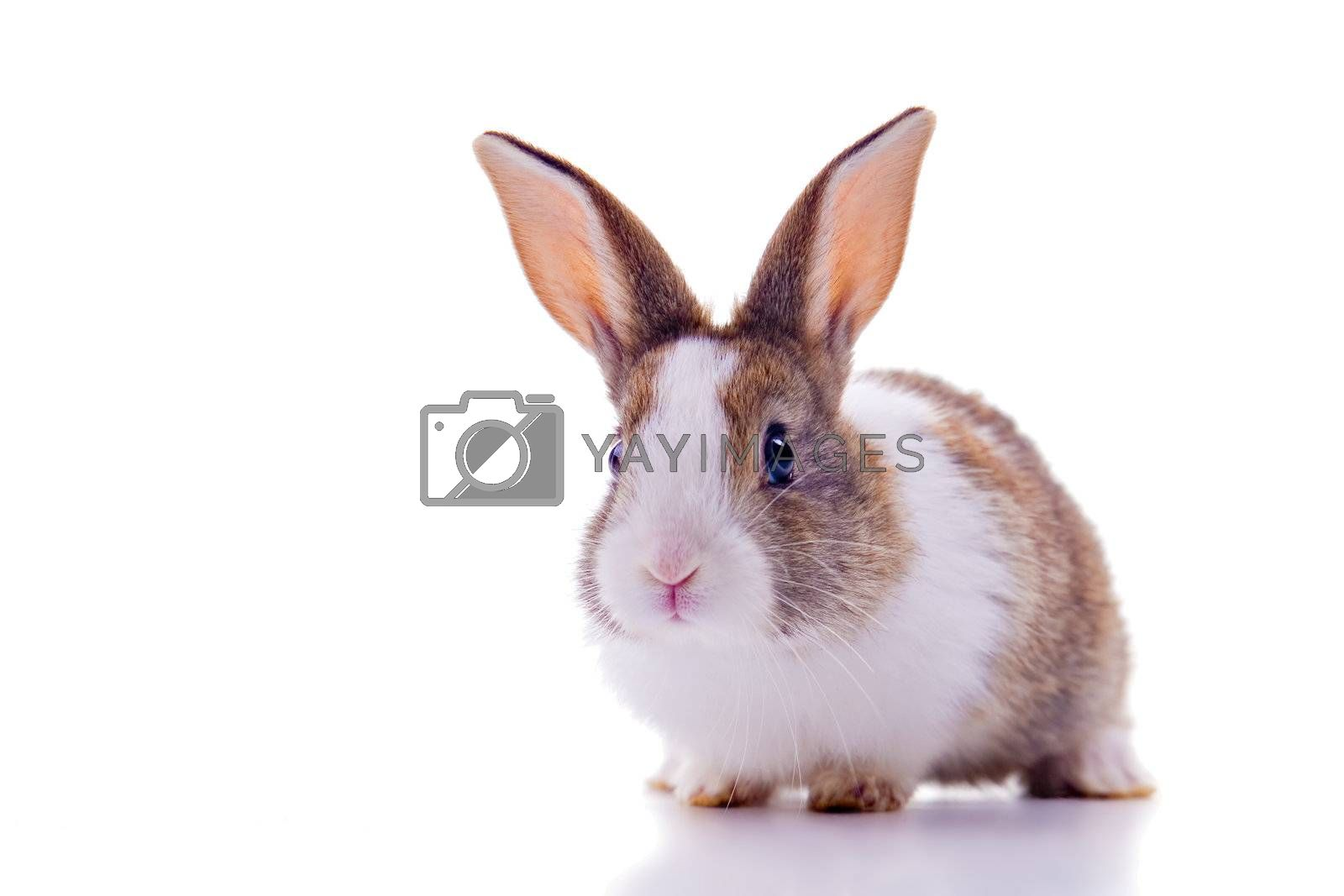 Cute bunny with curious look, looking at the camera. Isolated on white.
