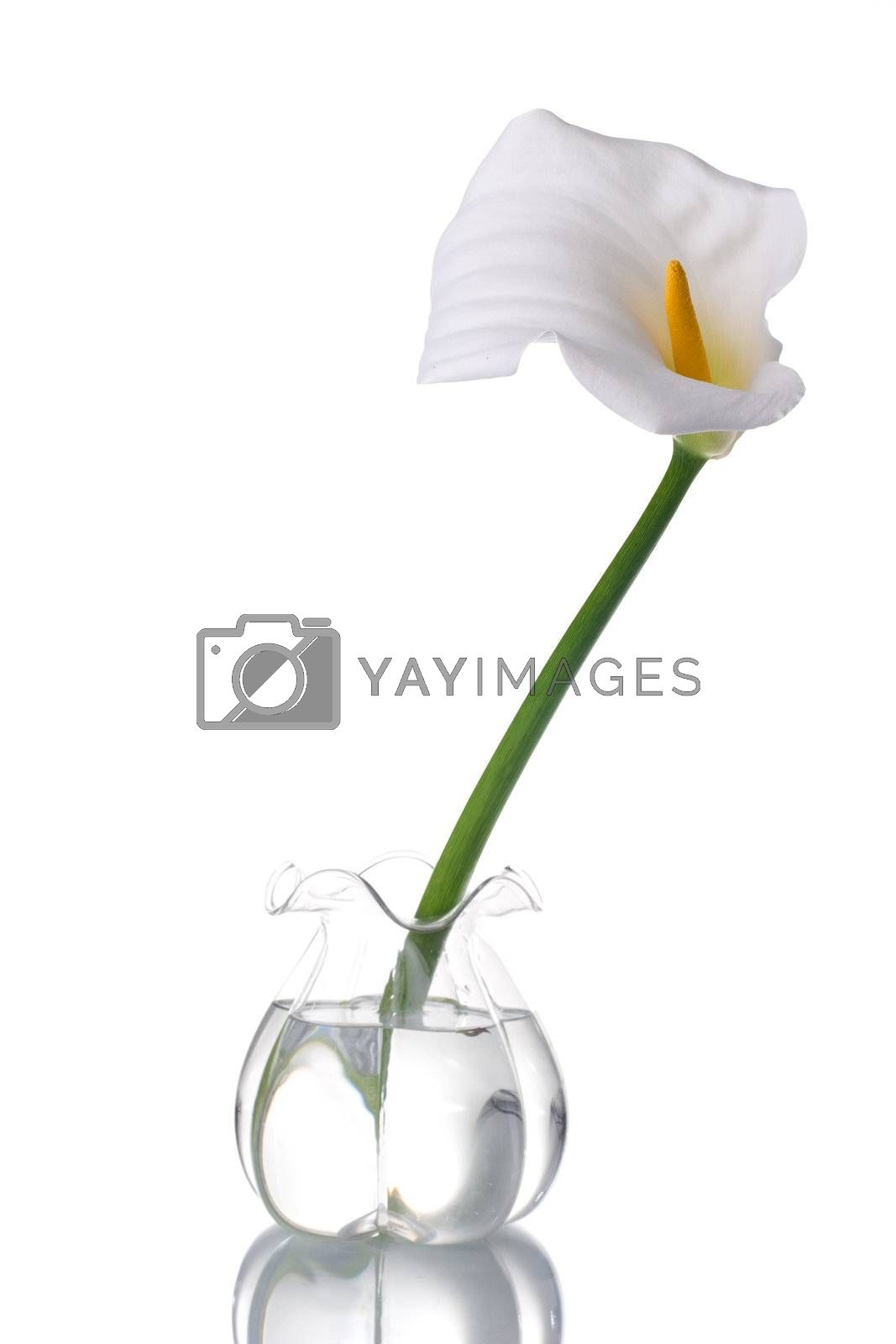 A white calla on a glass jar with water, reflected. Isolated on white background