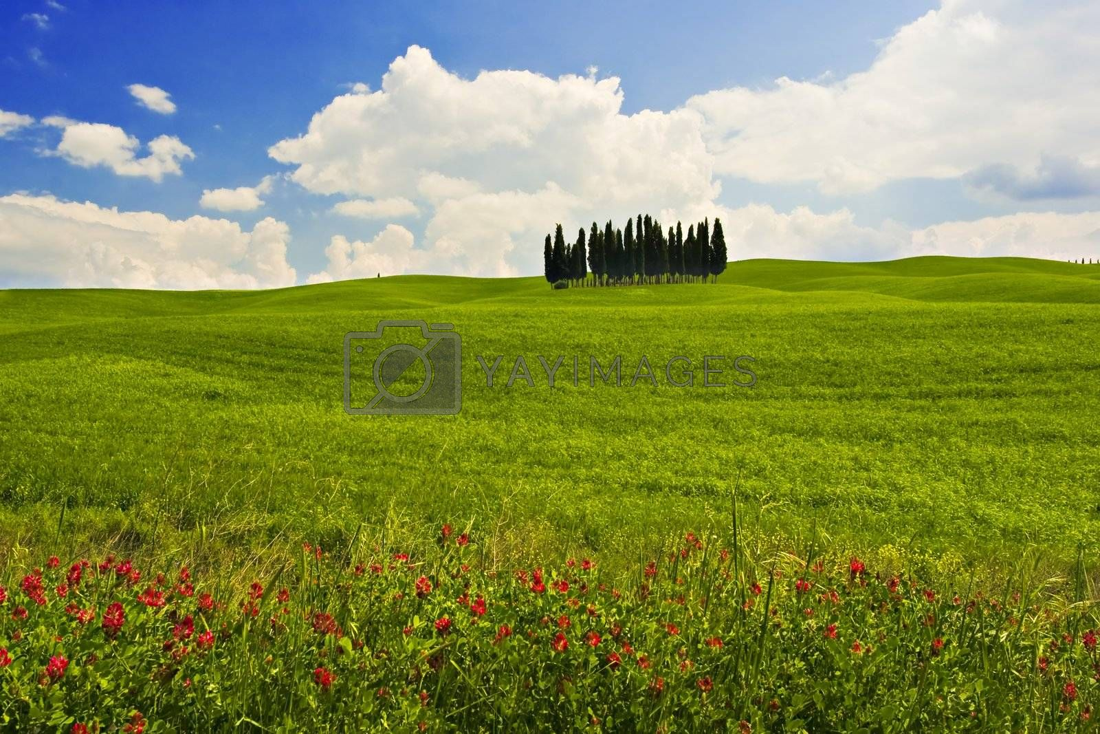 Landscape : Green field with cypress trees and red flowers, blue sky and big white fluffy clouds. Val D'Orcia,Tuscany, Italy