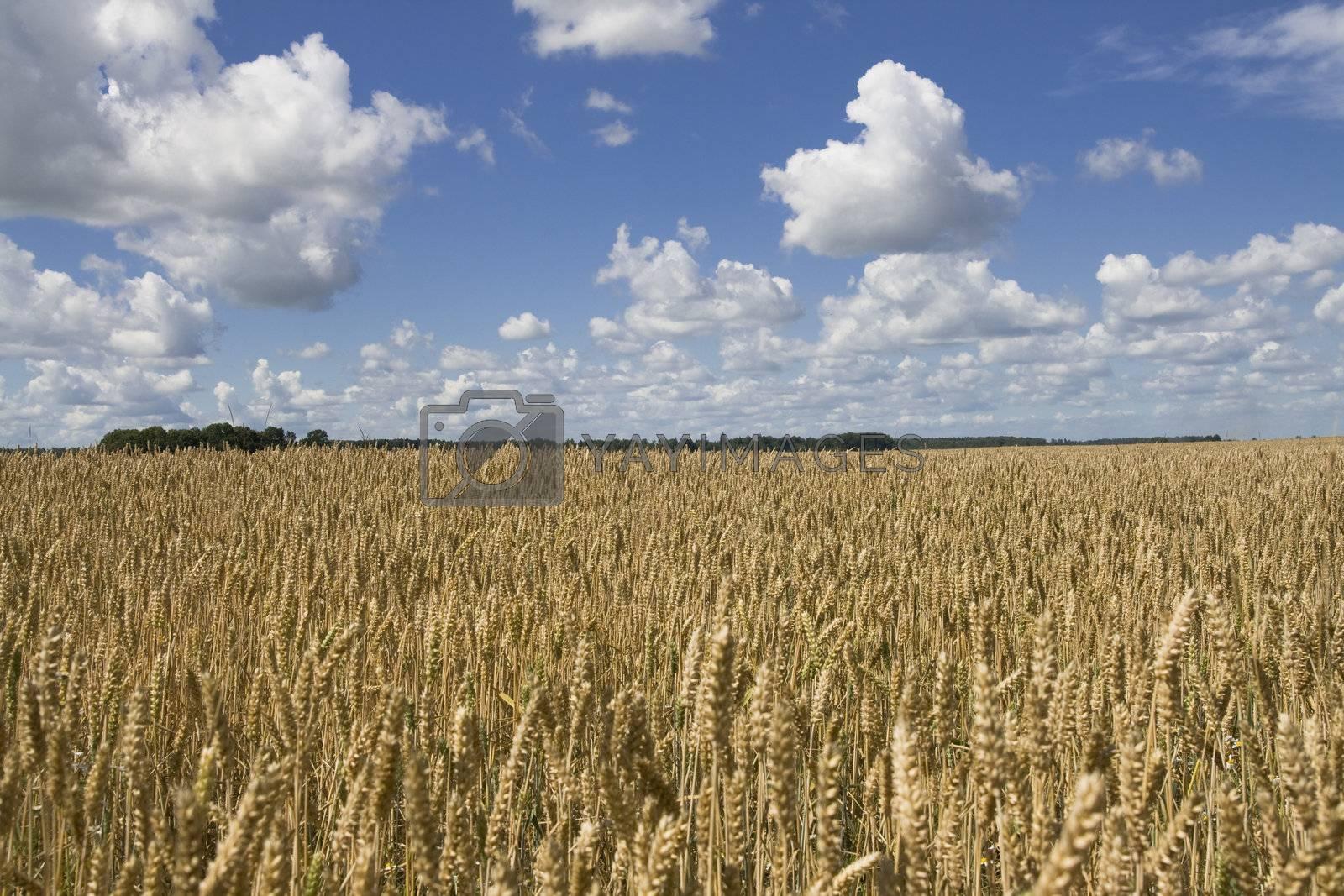 Field of wheat under blue cloudy sky