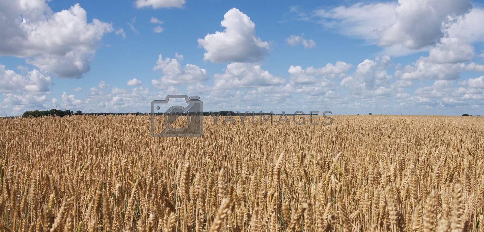 Yellow wheat field and blue sky panorama