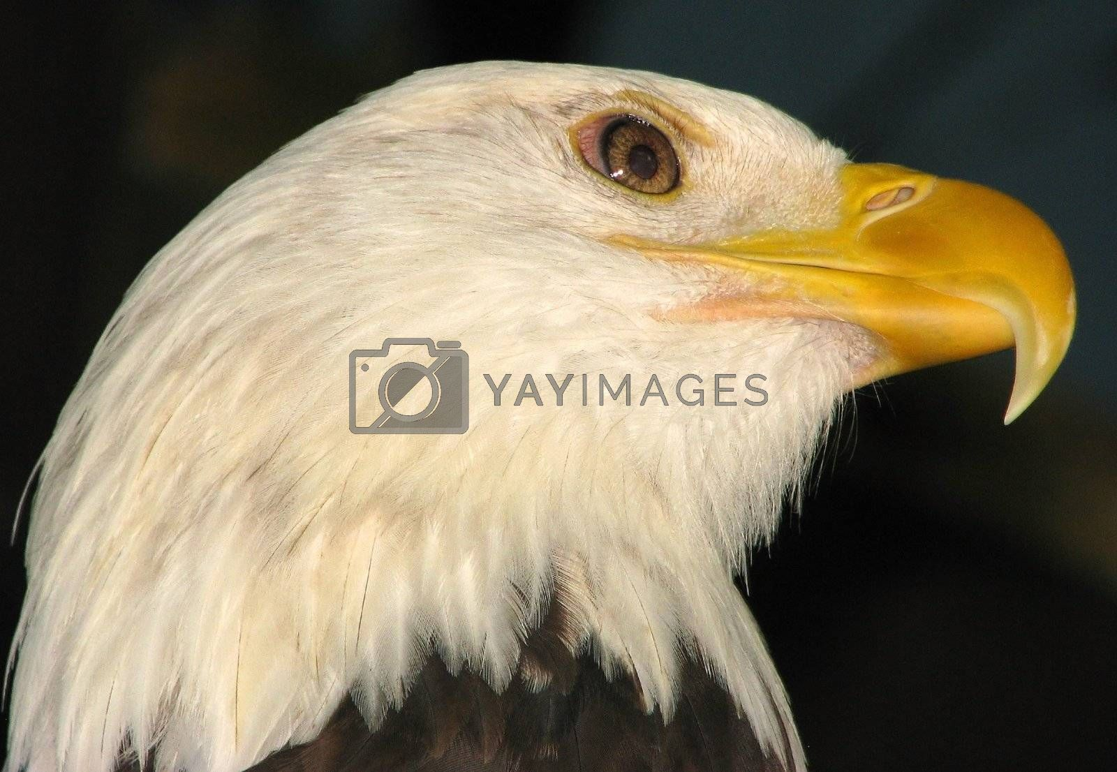 Royalty free image of Bald Eagle by bellafotosolo